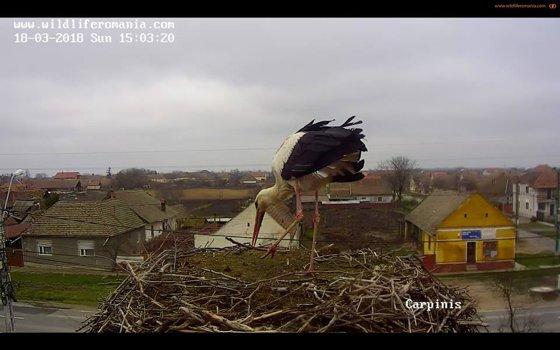 Imaginea articolului Vestitorii primăverii. Momentul în care prima barză a aterizat într-un cuib din judeţul Timiş, urmărit live pe Internet VIDEO