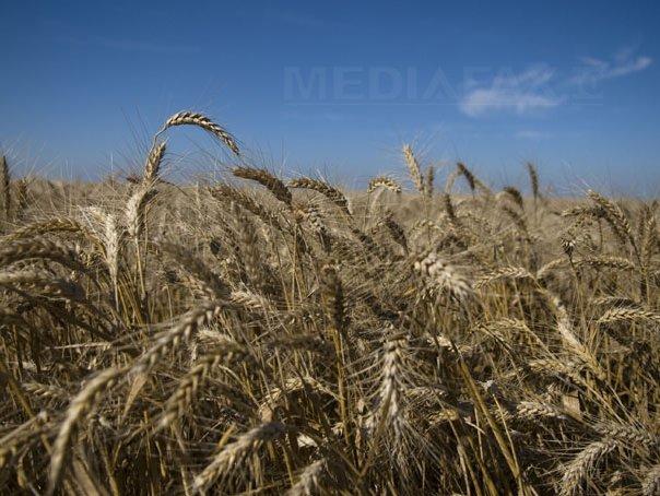 Egiptul a cumparat 60.000 de tone de gr�u rom�nesc, pentru 15,2 milioane de dolari