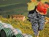 Imaginea articolului Anul acesta vinul va fi de calitate. Producţia se va menţine în parametrii anilor trecuţi