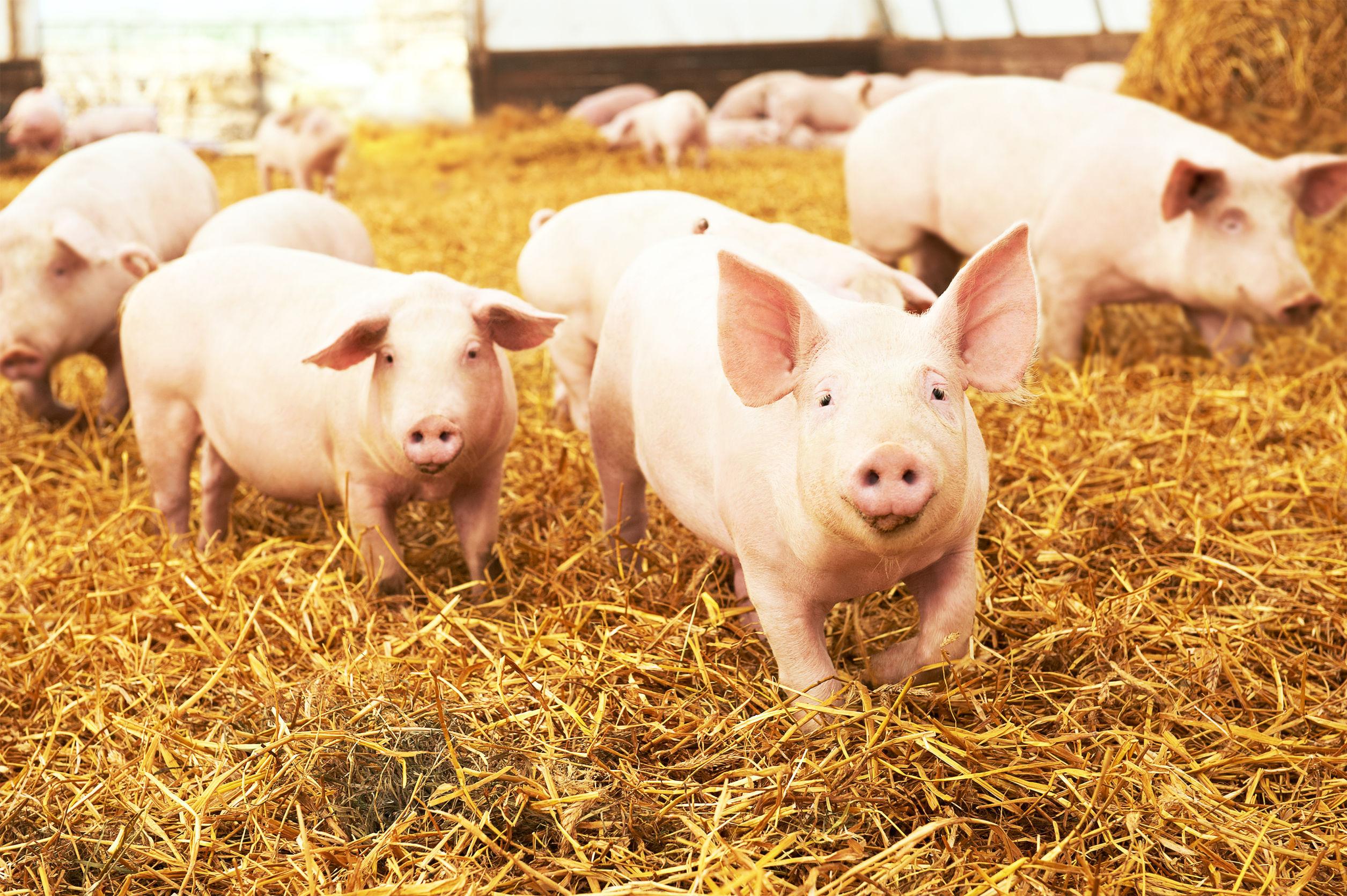 `Porc Crescut Româneşte`, un program lansat la iniţiativa fermierilor români şi a asociaţiilor de zootehnişti