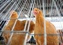 Imaginea articolului Crescătorii de Păsări: România, ultima în clasamentul producţiei de carne pe cap de locuitor