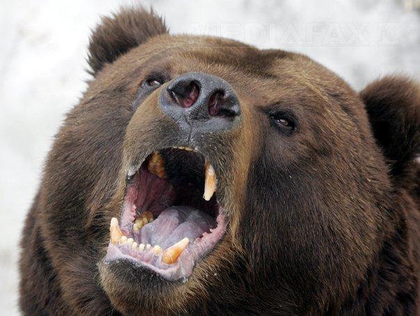 D�mbovita: Interventie pentru salvarea unui urs ramas blocat �n gardul unei gradini