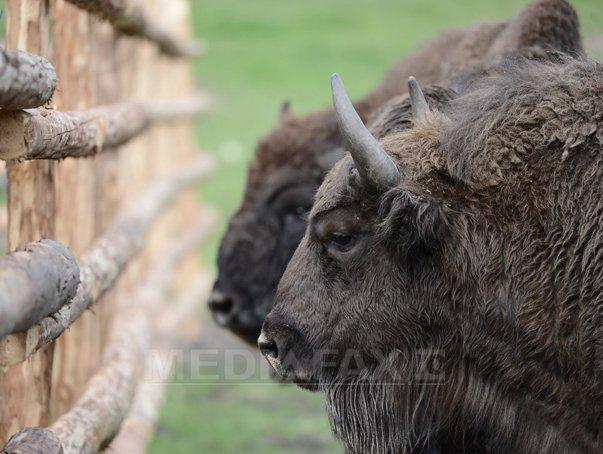 Alti doi zimbri din Rezervatia Hateg-Slivut au murit de boala limbii albastre. Cei opt zimbri ramasi, supravegheati de medici