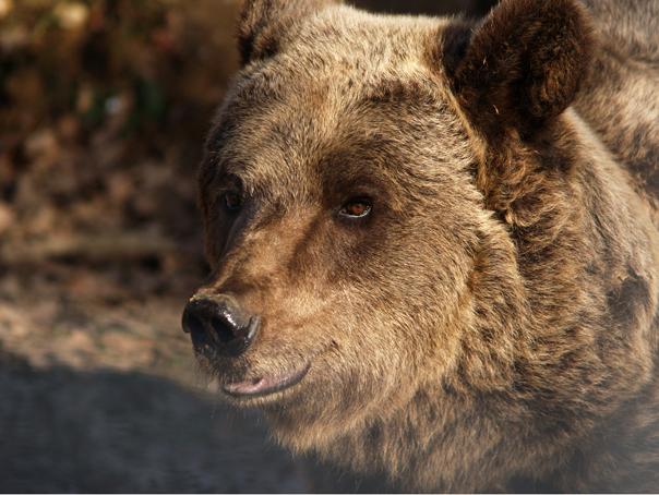 D�mbovita: Un urs a ramas prins �ntr-un gard, �n apropierea unei scoli. Elevii, tinuti �n unitate