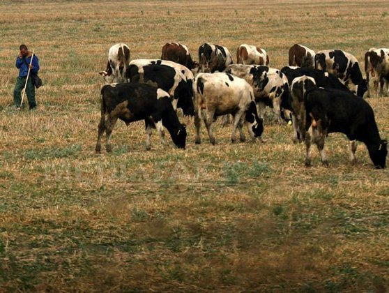 Imaginea articolului ANSVSA: Laptele este sigur la toate fermele şi la rafturi, nu avem restricţii nicăieri