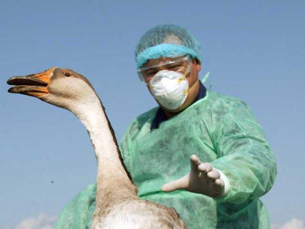 Imaginea articolului ANSVSA: Au fost confirmate 12 focare de gripă aviară la păsări domestice în şase judeţe