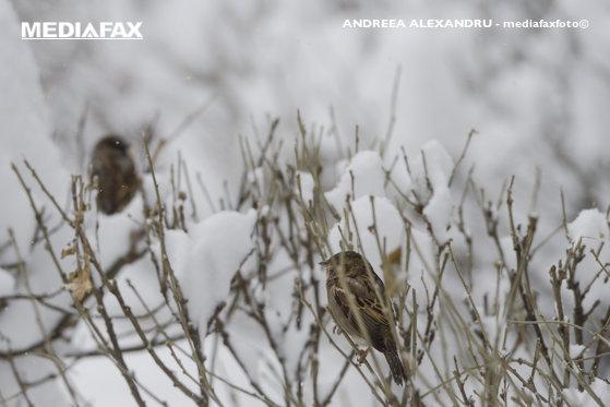 Imaginea articolului Informare de ninsori şi viscol la munte. Ploi, vânt puternic şi polei în restul regiunilor