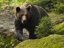 Imaginea articolului O fetiţă din Mureş a fost zgâriată de urs în grădină. Autorităţile încearcă să tranchilizeze animalul prins într-un gard de sârmă