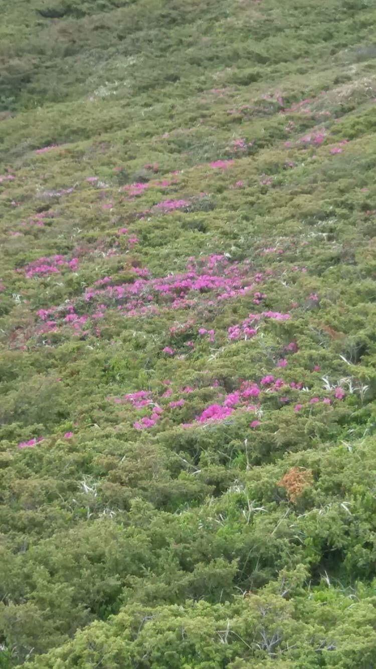 FOTO Spectacolul naturii oferit de rododendronul înflorit pe Muntele Roşu atrage mii de turişti