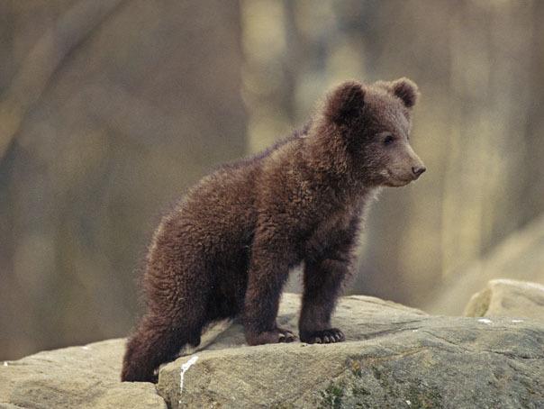 Urşii din cauza cărora s-a restricţionat accesul spre Cetatea lui Ţepeş, din Arefu, relocaţi. Ce se va întâmpla cu ursoaica şi cei trei pui ai săi