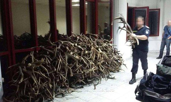 Imaginea articolului FOTO Cetăţean ceh prins la Punctul de Trecere a Frontierei Petea când încerca să scoată din ţară 680 de coarne de cerb