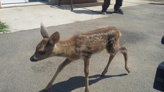 Imaginea articolului GALERIE FOTO Un pui de căprioară salvat din pădure a devenit vedeta Grădinii Zoologice din Galaţi