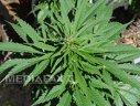 Imaginea articolului Aproape 3 kilograme de marijuana au fost găsite la Calafat, în maşina unui cetăţean bulgar