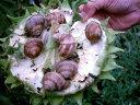 Imaginea articolului Peste 350 de tone de melci merg la export în fiecare an, din Bistriţa-Năsăud. Preţul unui kilogram ajunge la 30 de euro, dar culegătorii primesc doar 2 lei