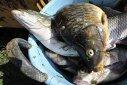 Imaginea articolului Patronul unui depozit de peşte a încercat să fugă cu marfa în timpul unui control de la Protecţia Consumatorilor