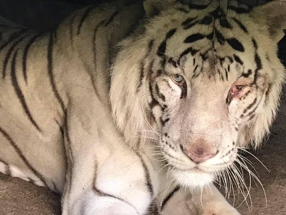 Tigrul, leii albi, o cămilă siberiană şi o lamă de la Circul Globus au fost duse la Zoo Bucov - FOTO