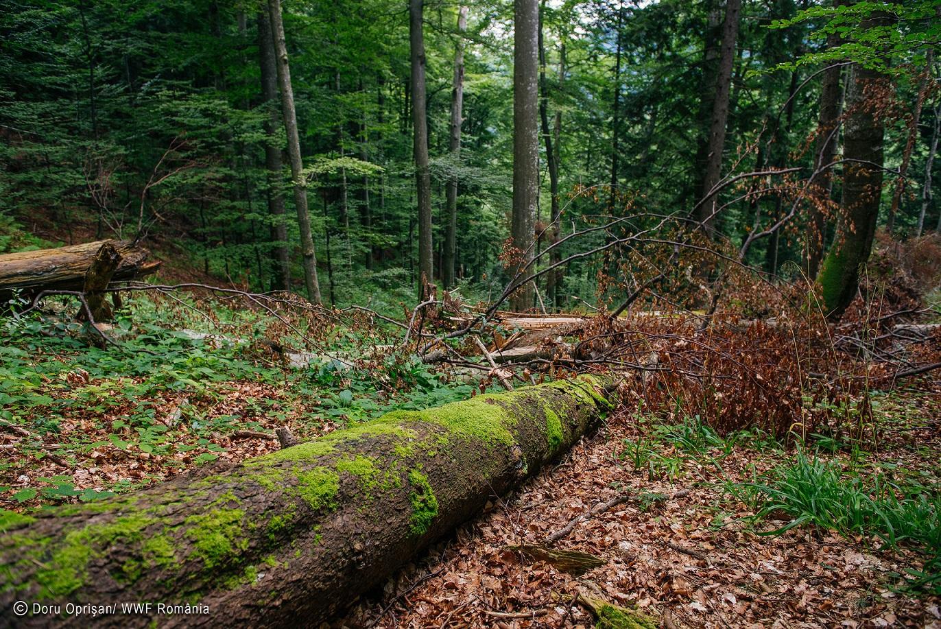 Ministerului Apelor şi Pădurilor: 329 de arbori din judeţul Suceava au fost injectaţi cu substanţe care au dus la uscarea lor