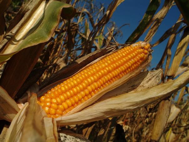 DEZASTRU în agricultură din cauza temperaturilor extreme | Cum afectează canicula culturile de legume, porumb, floarea-soarelui şi soia
