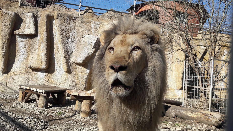 FOTO | Gratiile de la Zoo Braşov vor dispărea. Între lei, tigri şi vizitatori nu vor mai exista `obstacole`. Cum s-au gândit administratorii să facă parcul mai atractiv