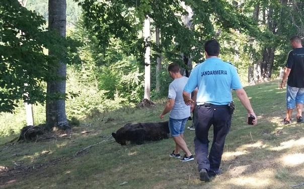 FOTO, VIDEO | Salvare spectaculoasă în Prahova: Un urs care a rămas blocat într-un gard de sârmă, ajutat de jandarmii montani