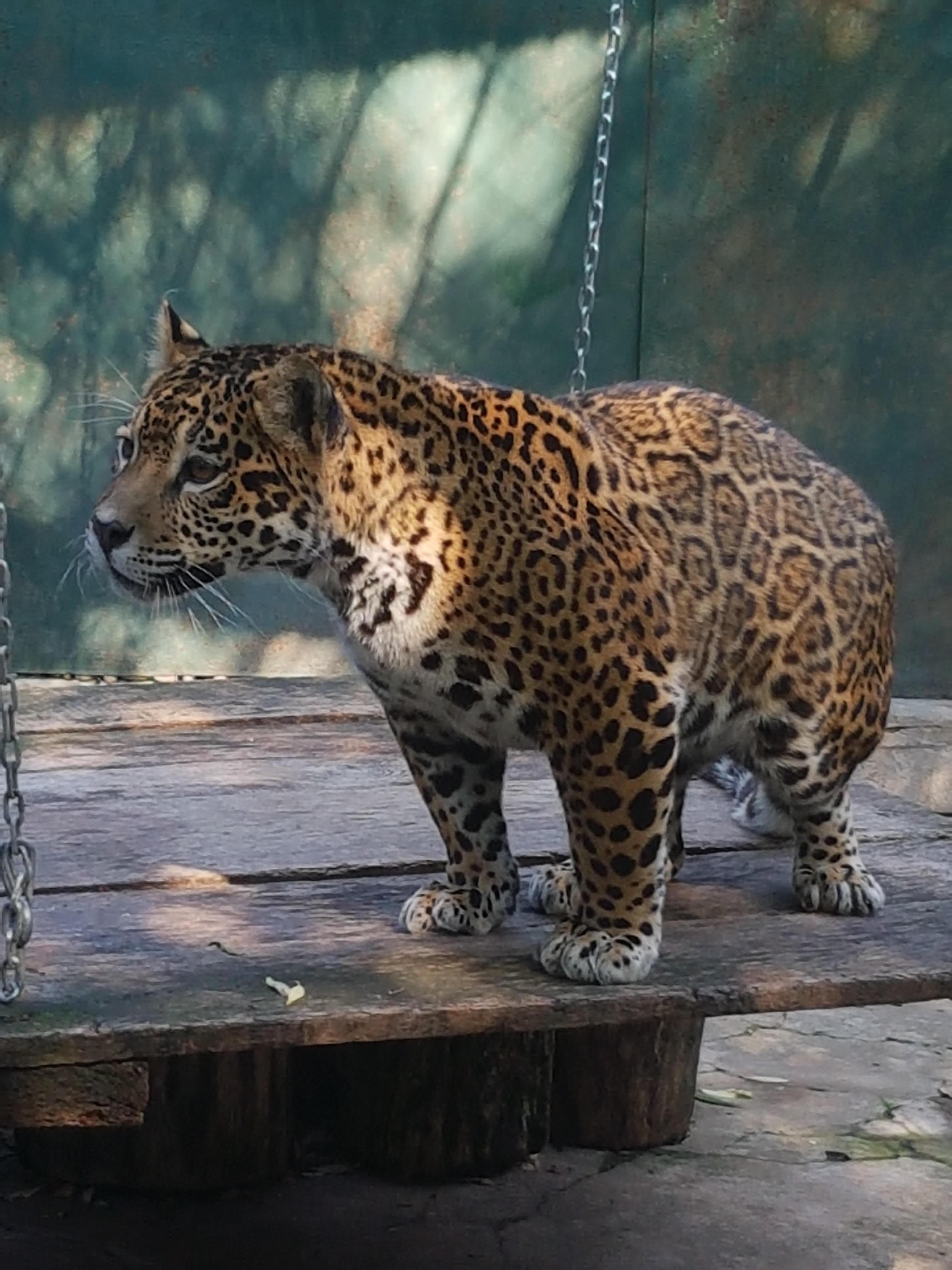 Un jaguar şi lebede albe, noii `locatari` de la Zoo Braşov. Vizitatorii vor putea hrăni animalele