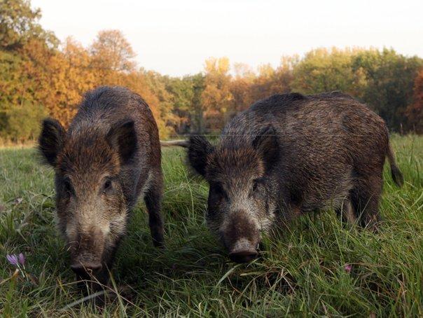 Sibiu: Şapte porci mistreţi, omorâţi în urma unui accident