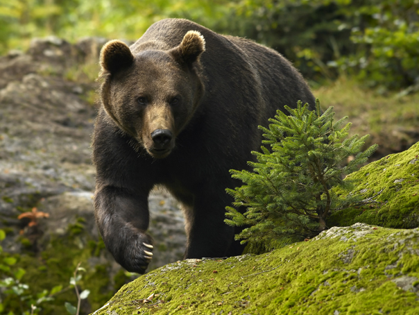 Doi turişti, speriaţi după ce s-au întâlnit cu ursul pe un traseu montan, salvaţi de jandarmi