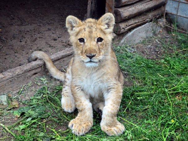 Un pui de leu de la Grădina Zoologică din Oradea, neacceptat de mamă şi hrănit cu biberonul, a murit