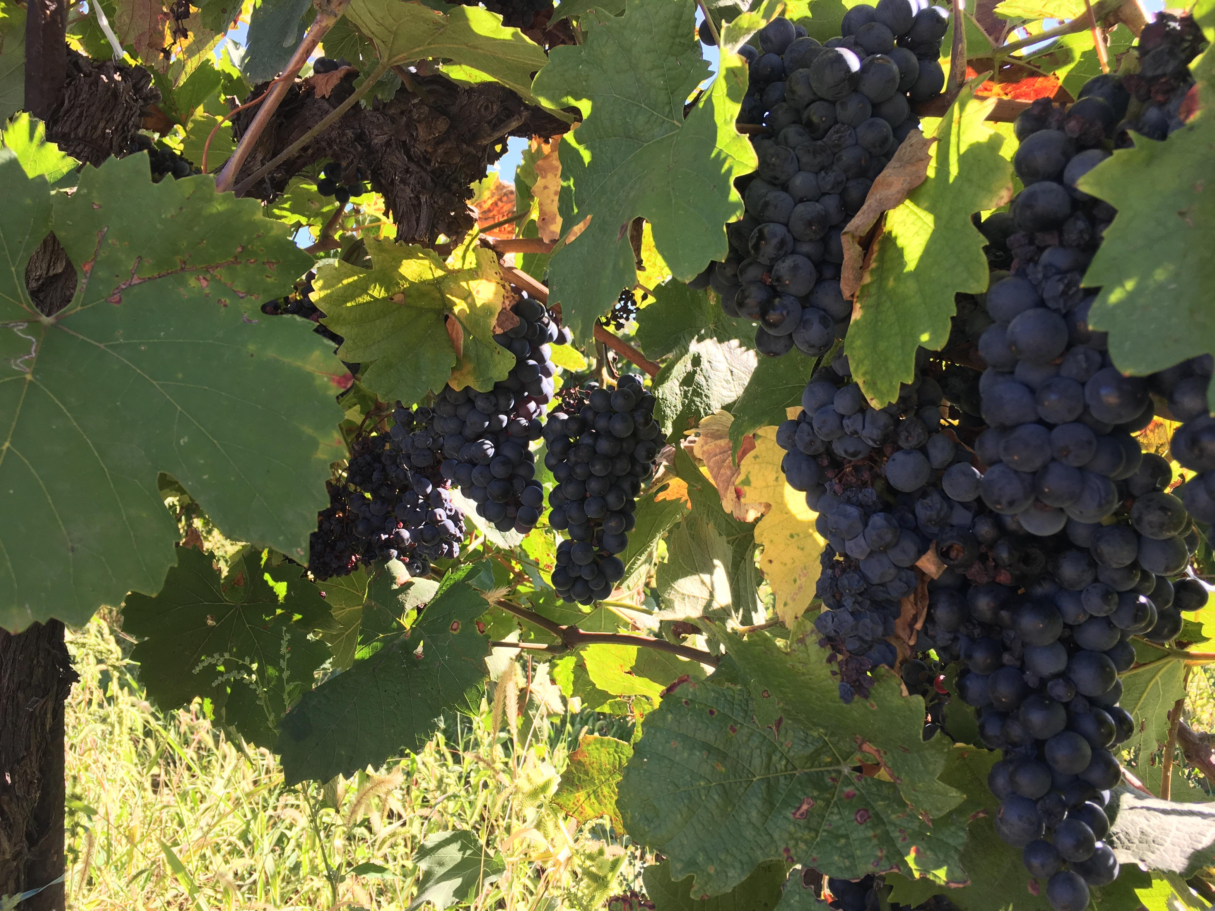 FOTO, VIDEO   Unul dintre marii producători de vinuri din România, ÎNGROZIT că va rămâne cu via neculeasă. Într-un an bogat, tot mai puţini oameni vin să depună muncă fizică