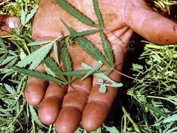 Un bărbat din Iaşi a fost arestat pentru trafic de droguri, în momentul în care ridica un colet cu canabis