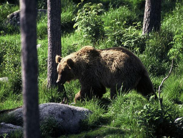 Ministrul Mediului, Graţiela Gavrilescu, vrea numărarea urşilor din România. Unii vor fi relocaţi în alte ţări