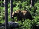 Imaginea articolului Ministrul Mediului, Graţiela Gavrilescu, vrea numărarea urşilor din România. Unii vor fi relocaţi în alte ţări