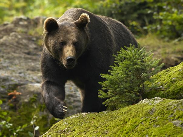 Un urs speriat s-a plimbat prin Braşov, după ce pădurarii au încercat să gonească animalele în pădure