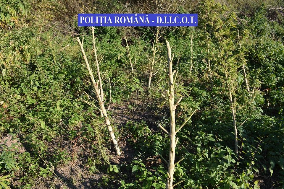 Grupare care avea cinci plantaţii de cannabis în judeţul Timiş, destructurată de DIICOT. Cantitatea, estimată la ordinul câtorva tone