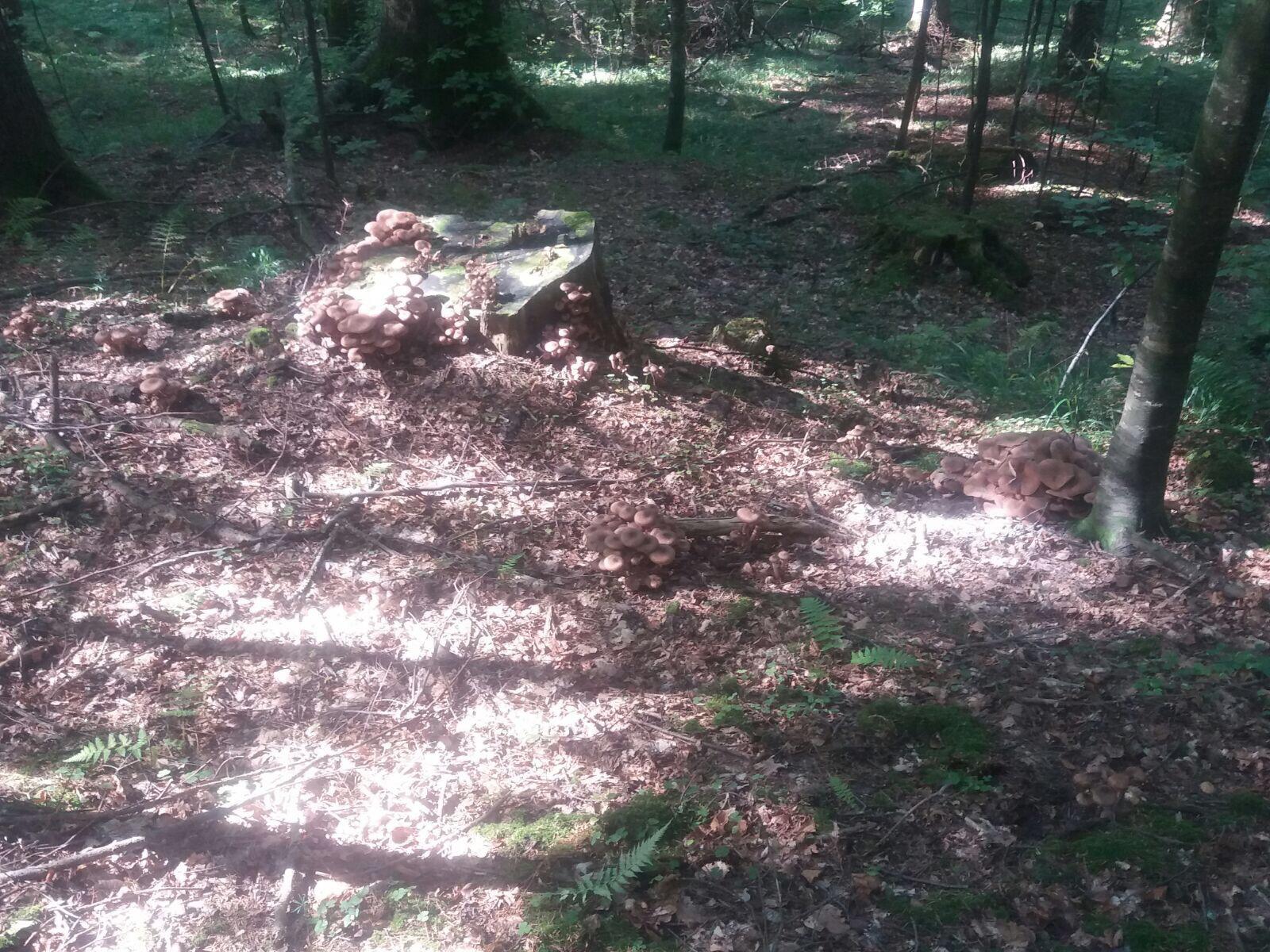 Ghebe şi bureţi, cele mai căutate ciuperci pe Valea Prahovei. Zeci de kilograme sunt conservate pentru iarnă de gospodine   FOTO, VIDEO
