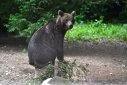 """Imaginea articolului Pădurarii cer derogare pentru a împuşca """"urşii plimbăreţi"""" din Braşov"""