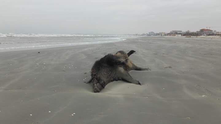 Cadavre de porci mistreţi, descoperite pe o plajă din nordul staţiunii Mamaia - FOTO, VIDEO