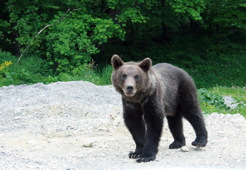 Un pui de urs rănit, găsit noaptea trecută lângă tomberoane, în Răcădău / O turmă de porci mistreţi a coborât în Braşov, în căutare de hrană / Jandarmii şi vânătorii i-au direcţionat spre pădure