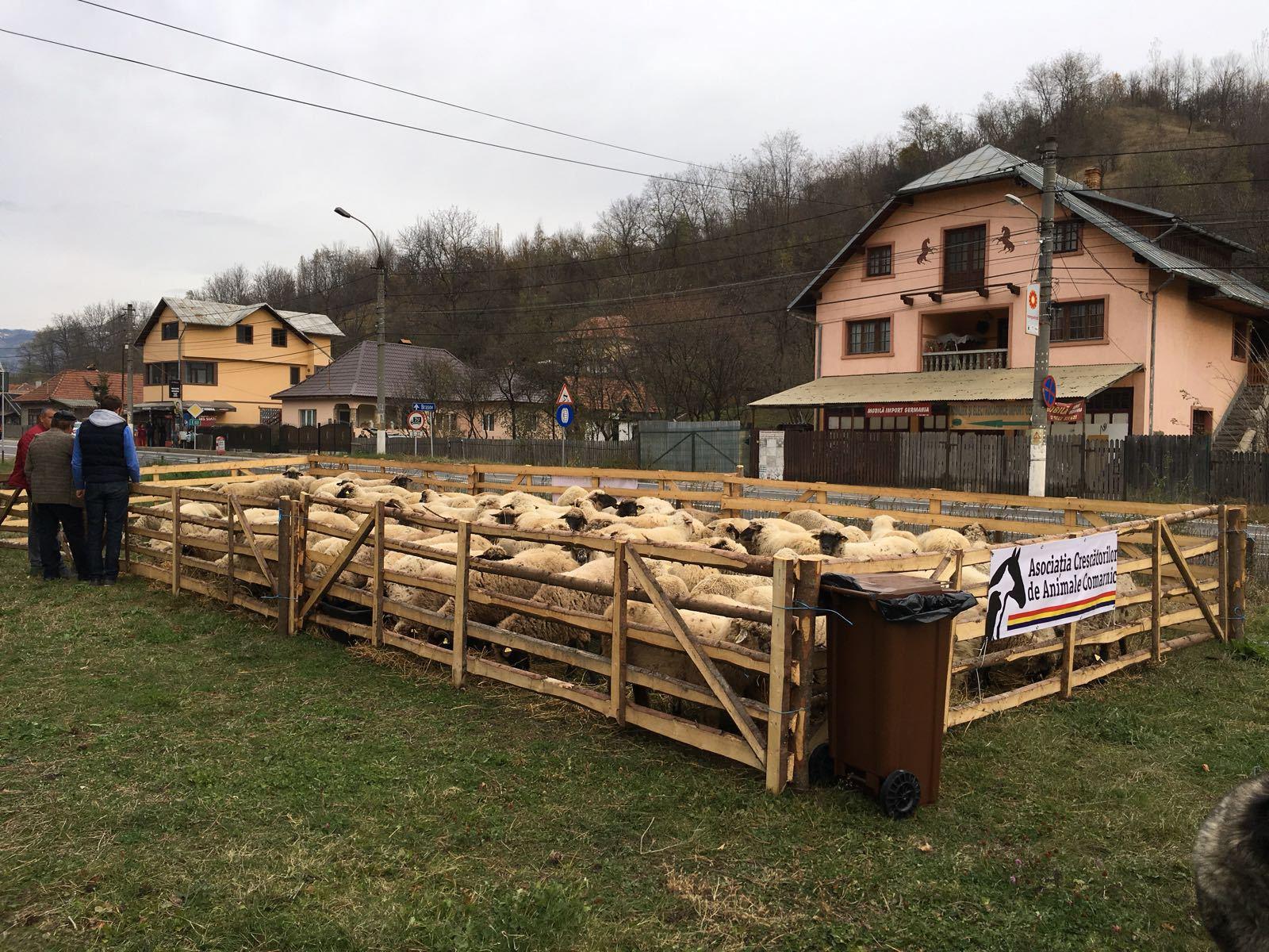 Crescătorii de oi din Prahova, cu animalele la protest, lângă DN1. Oamenii cer soluţii la atacurile dese ale urşilor: Nu suntem pentru omorârea lor, dar să se găsească nişte soluţii