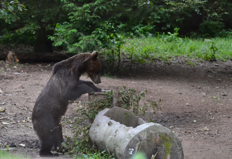 Soluţia găsită de ministerul Mediului la coborârea urşilor în sate şi oraşe: ÎMPUŞCAREA. Doi urşi au soarta pecetluită, se pregătesc dosare pentru încă şapte