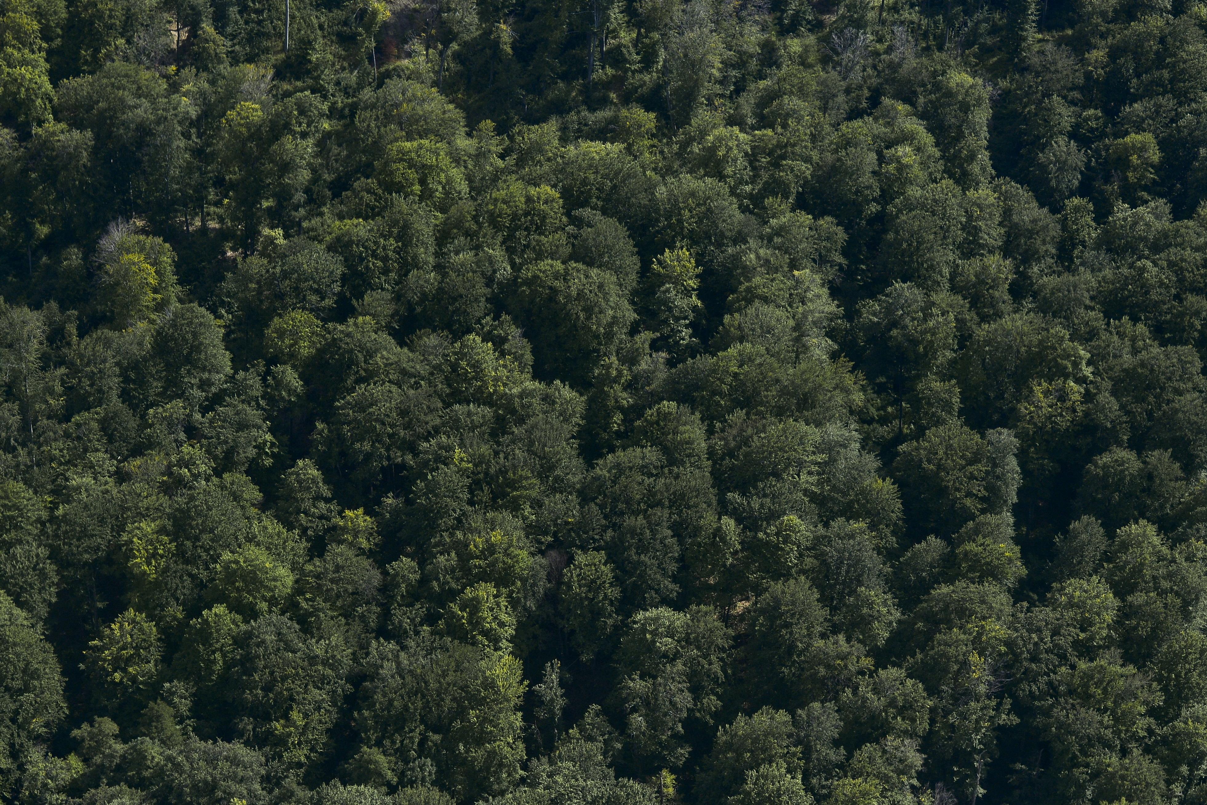 Harta pădurilor virgine din România: 300.000 de hectare,13.000 de specii şi cea mai mare populaţie de urşi din Europa / Topul pe judeţe / Semnalul de alarmă, tras de Greenpeace