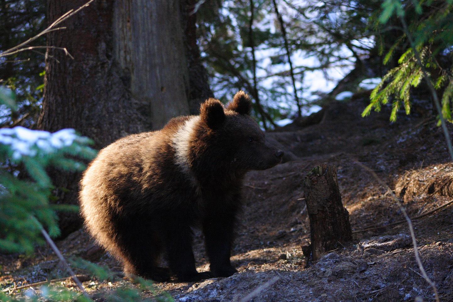 Ursul `alege oaia` | Poliţia şi Garda Forestieră din Vrancea caută un urs care a atacat o turmă de oi