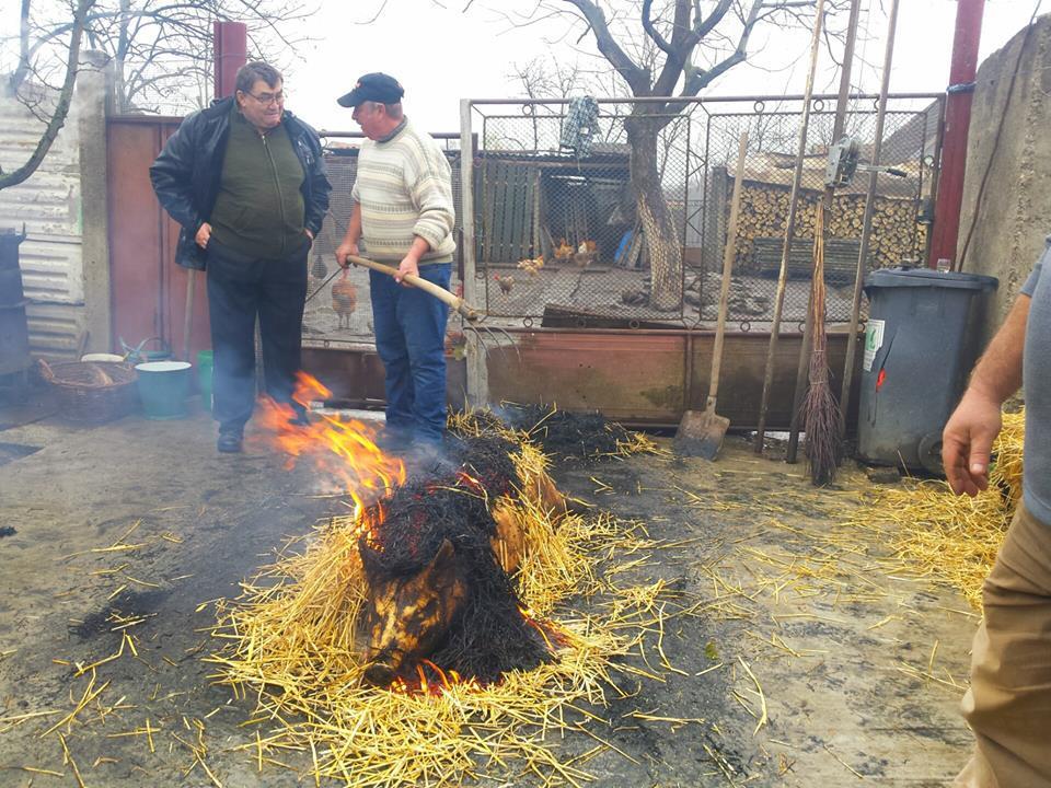 RITUALURI de Crăciun din România. Tradiţiile de tăiere a porcului, păstrate în Banat. Animalul, pârlit cu paie şi spălat nemţeşte GALERIE FOTO