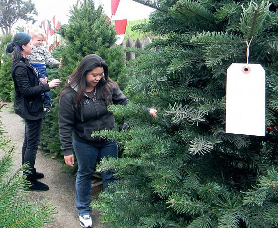 Aproape 400 de pomi de Crăciun, confiscaţi de poliţişti