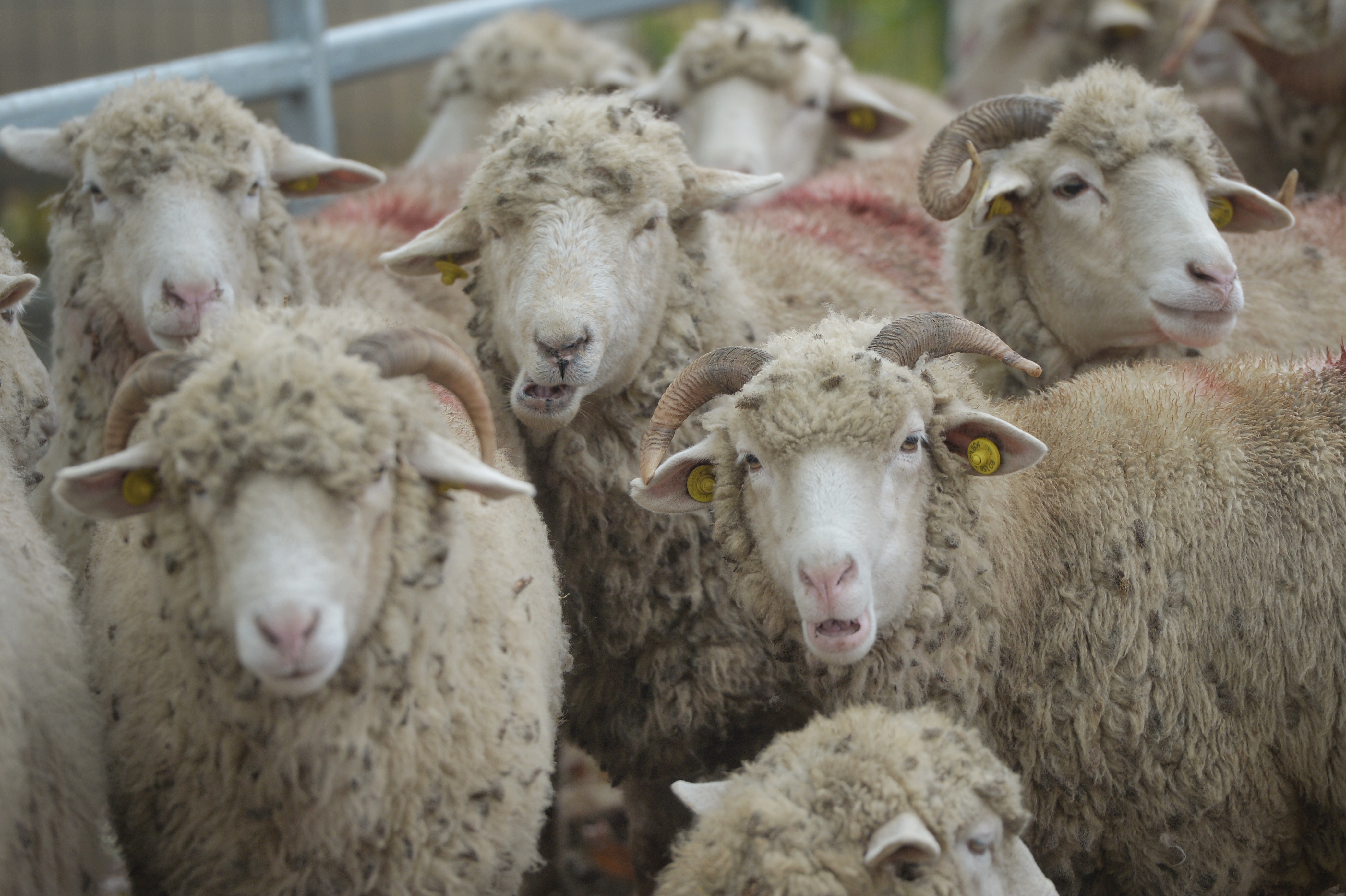 Aproximativ 100 de oi au murit după ce au fost lovite de un tren care mergea spre Budapesta, în Mureş