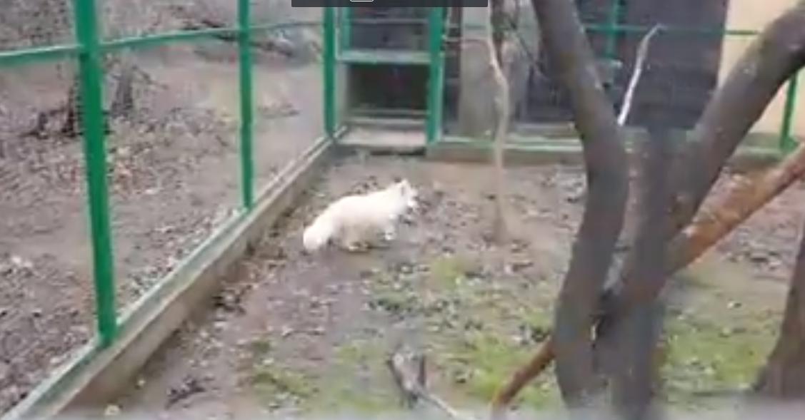 O vulpe polară s-a plimbat mai multe ore pe străzile din Constanţa, după ce a evadat din microrezervaţie. Unde a fost GĂSIT animalul - VIDEO
