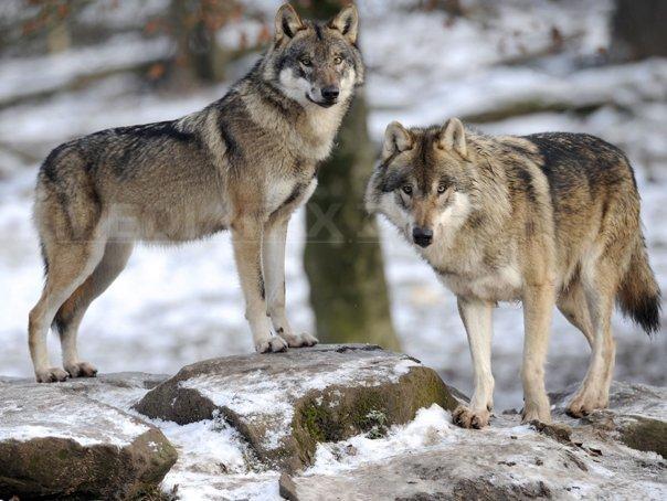 Imaginea articolului Doi lupi în căutare de hrană, filmaţi într-o pădure din Parcul Naţional Semenic | VIDEO
