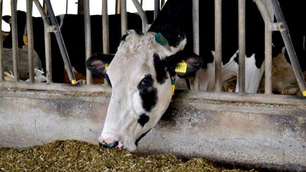 Imaginea articolului Premieră în România: Sorina, prima vacă care a produs 100.000 de litri de lapte / Producţia, de zece ori mai mare decât a unei vaci obişnuite