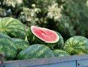 Imaginea articolului Pepenii de Dăbuleni ar putea ajunge în supermarketurile din Suedia
