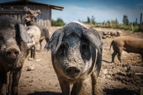 Imaginea articolului Pesta porcină africană se extinde cu rapiditate. Au fost confirmate trei focare noi